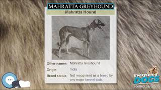 Mahratta Greyhound  Everything Dog Breeds
