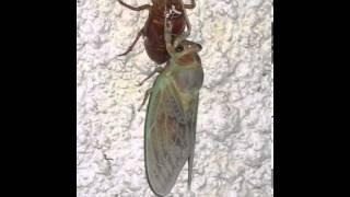 アブラゼミの幼虫が羽化する様子をスライドショーにしてみました。