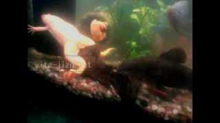 Аквариумные лягушки, шпорцевая лягушка, лягушка шпорцевая