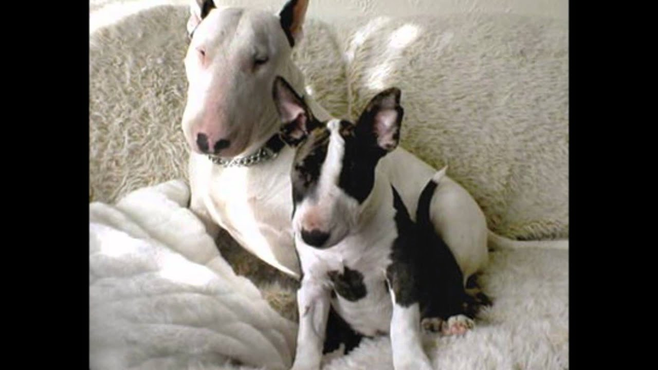 Anglicky Bull Terrier Youtube