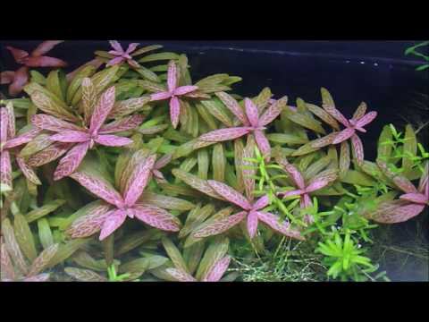 Hygrophila polysperma 'Rosanervig' (ハイグロ ロザエ)