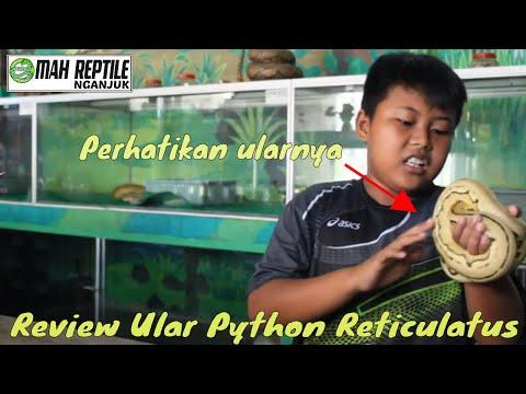 Cara Memelihara Reticulated Python