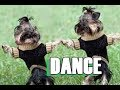 Cute puppies dancing with style (DOG COMPILATION)