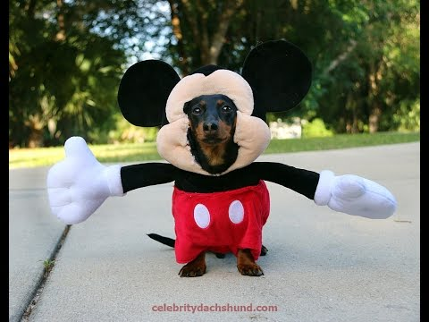 Dog Dressed as Mickey Mouse!