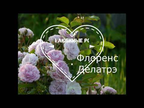 Розы Массада. Флоренс Делатрэ в моём саду 2019