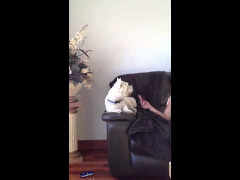 Murder She Wrote - Singing Dog Funny!!!