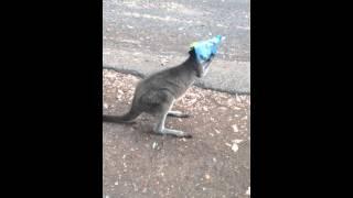 「前が見えねぇぇ!!!」袋をかぶったカンガルーが大パニック!