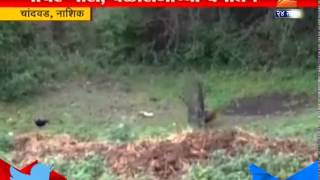 Chandwad : Nashik Peacock Dancing To Welcome Rain