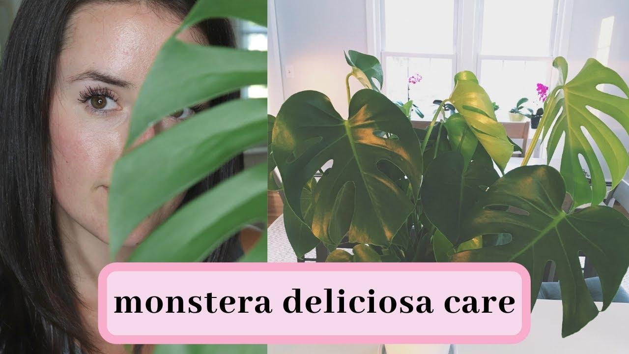 Monstera Deliciosa Care on monstera philo cheesecake, monstera pertusum, monstera leaves, monstera direct sun, monstera sunny window, monstera thai constellation, monstera leaf browning,