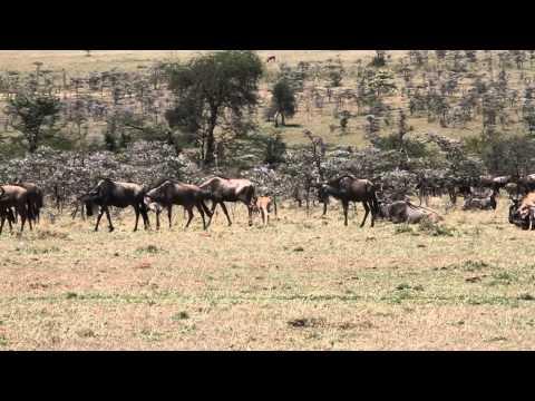 Wilderbeast filmed during walking safari, Basecamp Dorobo / Wilderness