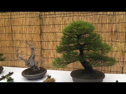 Ǜ†æ½ Nearly 1000 Year Old Japanese Bonsai Trees Youtube
