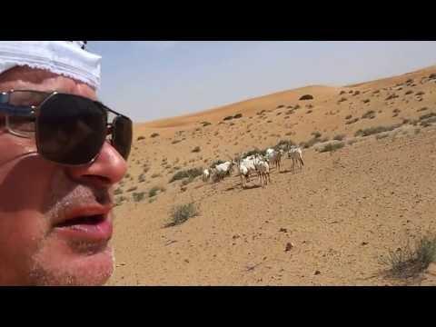 Arabian Oryx at Dubai Desert Conservation Reserve المها العربية في محمية دُبي الصحراوية