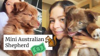 Nuestra nueva mascota: Mini Australian Shepherd  Cuánto gastamos?   Ale intenta adoptar un perrito