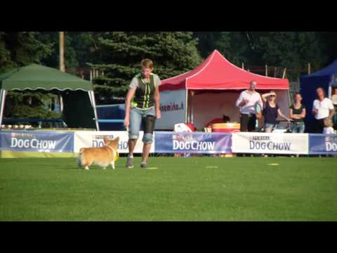 European Championship in dogfrisbee - Welsh corgi pembroke Aĺka