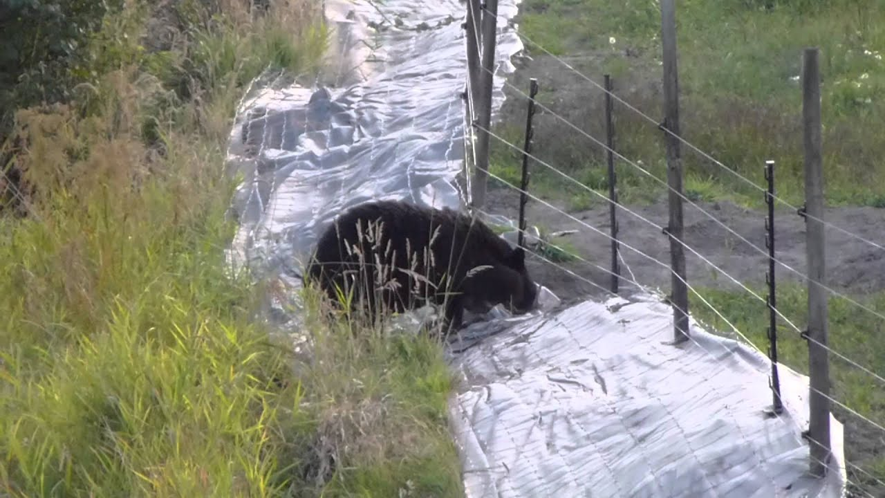 bear vs the electric fence.m2ts - YouTube
