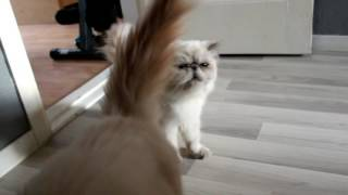 Persian Cat farts another in the face 😅😅   Two Stupid Cats Shorts #1 -  Funny  Cat Video
