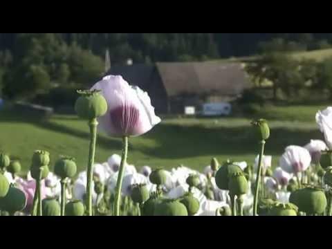 Mohn - Blume des Schlafs [Teil 2.]