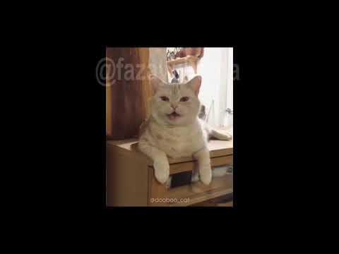 Havana versi sunda |cover kucing
