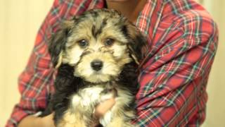 Meet The Puppies - Rottweiler & Yorkshire Terrier Bichon