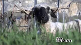 Valais: Les moutons mieux que les herbicides?