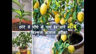 गमले में छोटे से पौधे में पाए ढेर सारे नींबू     How to get more lemon from small plant in a Pot