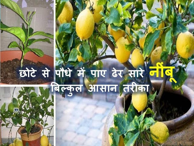 ???? ??? ???? ?? ???? ??? ??? ??? ???? ?????   | How to get more lemon from small plant in a Pot