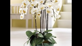 ОШИБКИ В УХОДЕ ЗА ОРХИДЕЯМИ . ОРХИДЕИ . УХОД ЗА КОМНАТНЫМИ РАСТЕНИЯМИ(Уважаемые любители орхидей, я продолжаю серию об орхидеях. В этом видео мы поговорим об ошибках по уходу..., 2014-10-30T01:52:09.000Z)