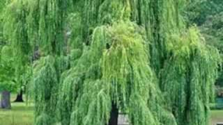 Willows on the Water by Enya