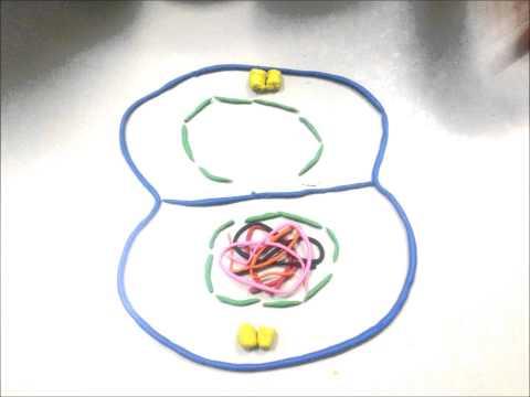 การแบ่งเซลล์แบบไมโอซิส  โดย G.S.B54
