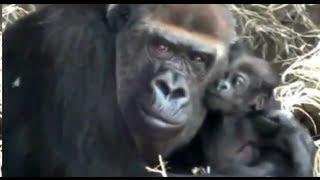 Cutest! Baby Gorilla(6 weeks old) and mom.かわいいゴリラの母子。 Ue...