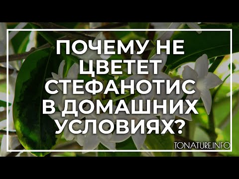 Почему не цветет стефанотис в домашних условиях? | toNature.Info