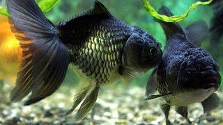 Нерест золотые рыбки