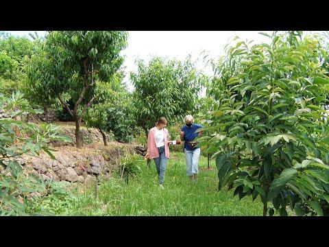 Хурма та фісташки: реліктові сорти з Японії вирощує селекціонерка у Виноградові