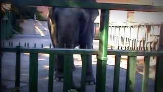 Одесский зоопарк 2014. Слон обожает кукурузку. Odessa zoo 2014. Elephant loves corn.