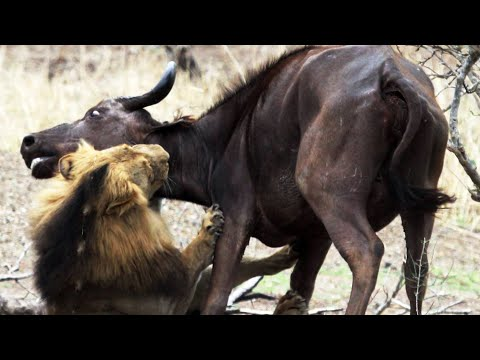 Male Lions Kill Buffalo Mother & Calf - Latest Wildlife Sightings