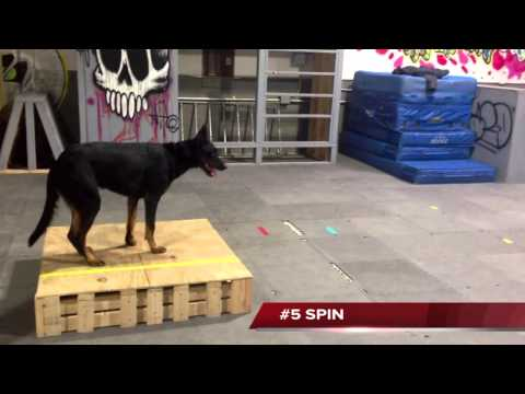 Wendy Bemis Beauceron Trick Dog Champion at Michigan Dog Training