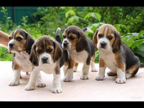 Вопрос: Опасны ли собаки породы- Бигль?