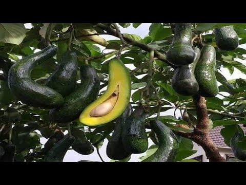 Secrets Of Avocado Cuttings Without Using A 100% Root Stimulator Grow For Beginners
