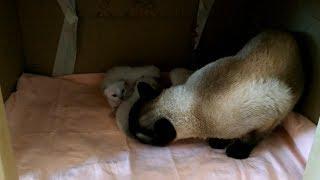 Папа-кот Оскар умело ухаживает за двухнедельными котятами! Тайские кошки - это чудо! Funny Cats