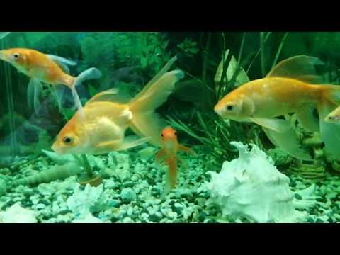 Лечение Аэромоноза и краснухи у золотых рыбок с помощью Метиленовый синий кондиционер