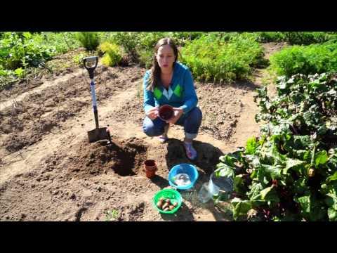 3 интересных способа посадки тюльпанов