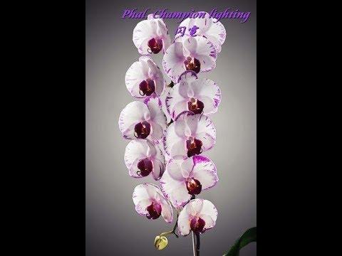 Орхидей Посадка деток сортовых азиатских орхидей в цеофлору Мой секрет приживаемости цеофлоре