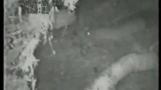 Горностай нападає самка качки і видаляє яйця