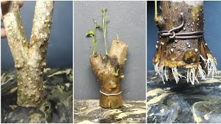 Make small bonsai from branch cutting (anting putri / wrightia religiosa )