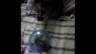 Кошка не хочет одевать шлейку