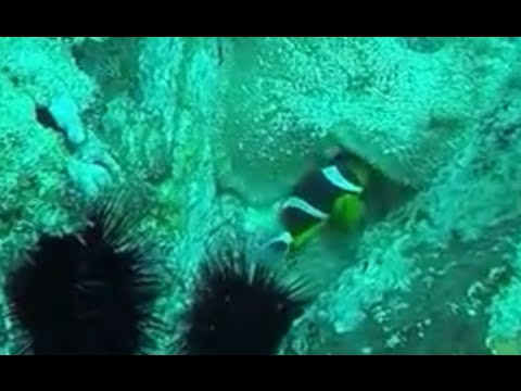 Praslin Seychelles - Diving - Clownfish - Anemonefish