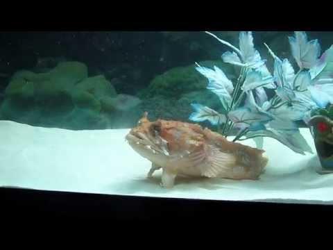 Orange Toadfish, Crush, Feeding Time!