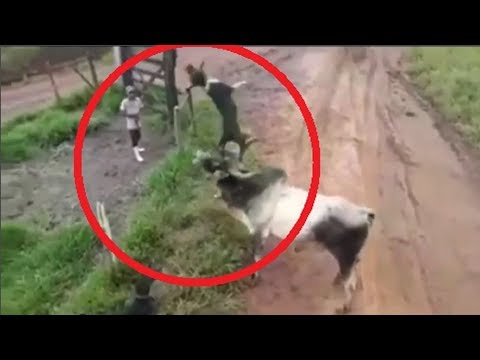 Dogs protect owner from a raging bull!!!