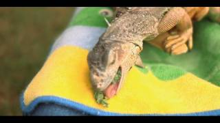 How to Feed an Iguana | Small Pets