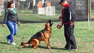 Проверка рабочих качеств Немецких Овчарок. Checking the working qualities of German Shepherds.